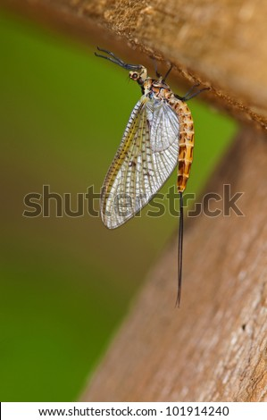 the mayfly that  may fly - stock photo