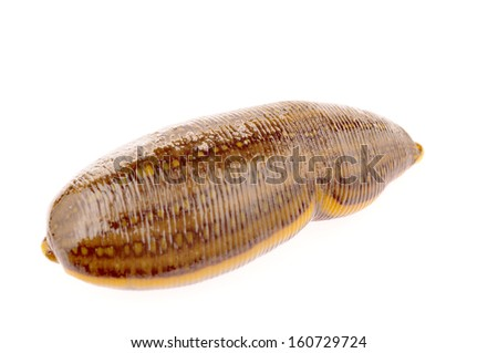 The medical leeches of isolated on a white background  - stock photo