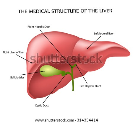 the medical structure of the liver