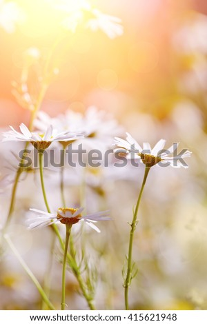 The medicinal field blossoming plant - a camomile.