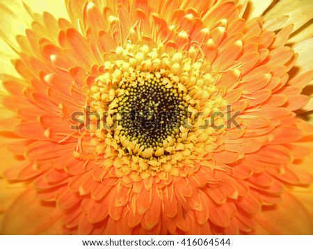 The middle of a beautiful orange gerbera background