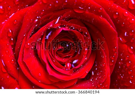 The middle of a red rose with water drops on petals. Close up, flower background - stock photo