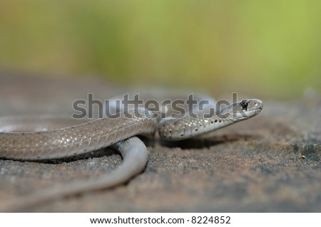 The midland brown snake is a common snake but not commonly seen due to it's secretive nature. - stock photo