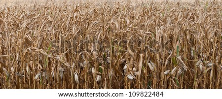 The midwest drought has had a major impact of local farmers and their crops. - stock photo