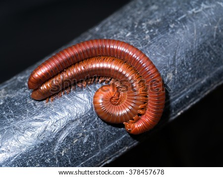 The millipede breed. - stock photo