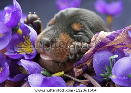 The Miniature Pinscher puppy, 5 days old - stock photo