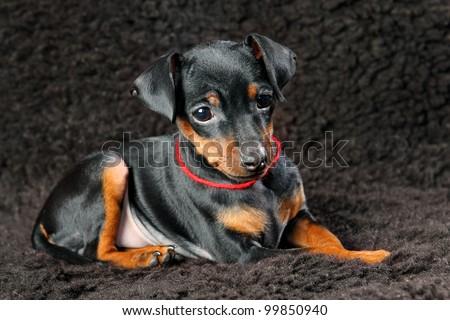 The Miniature Pinscher puppy, 2.5 months old - stock photo