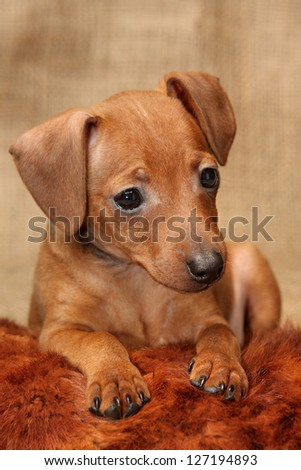 The Miniature Pinscher puppy, 2 months 1 week old