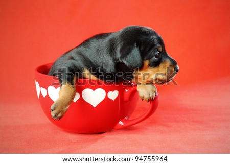 The Miniature Pinscher puppy, 3 weeks old, lying in front of red background - stock photo