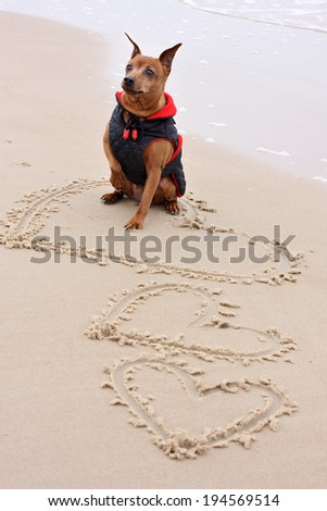 The Miniature Pinscher sitting on the sand by the sea - stock photo