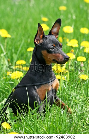 The Miniature Pinscher (Zwergpinscher, Min Pin) is a small breed of dog of the Pinscher type, developed in Germany. - stock photo