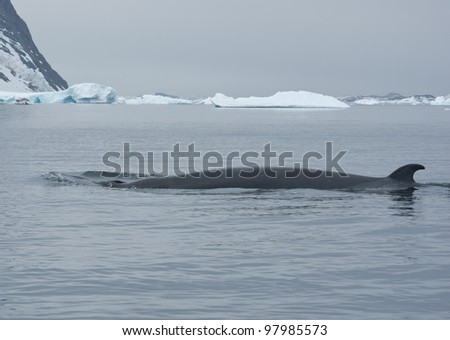 The minke whale in the Southern Ocean against the backdrop of ice-4.