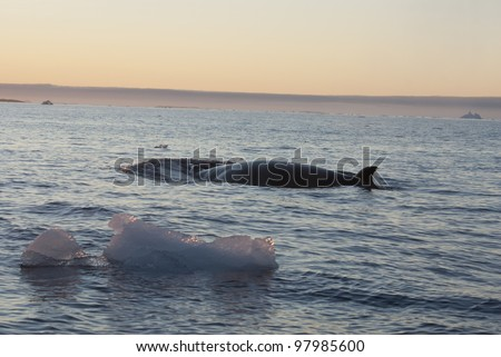 The minke whale in the Southern Ocean against the backdrop of ice-1.