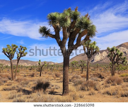The Mojave Desert landscape is dominated by Joshua trees in southeastern California. - stock photo