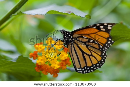 The Monarch Butterfly Biosphere Reserve is a conservation area and World Heritage Site within the wintering grounds of most of the monarch butterflies that migrate. - stock photo