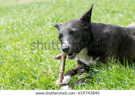 The mongrel gnawing a branch of tree