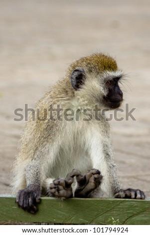 The Monkey - stock photo