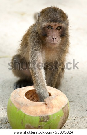 The monkey eating a fresh coconut. - stock photo