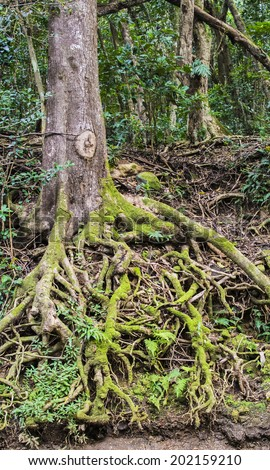 The mossy roots of a tree are exposed by the constant rainfall of the jungle, and have grown into a captivating tangle. Shot taken on a trail in Kauai. - stock photo