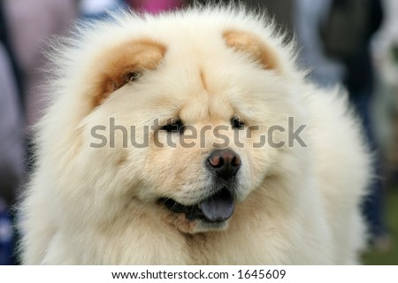 The most adorable fluffy Chow Chow six month old puppy who has an fantastic nature as well - stock photo