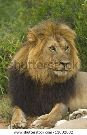 The most aggressive Lion at Addo Elephant Park, South Africa - stock photo