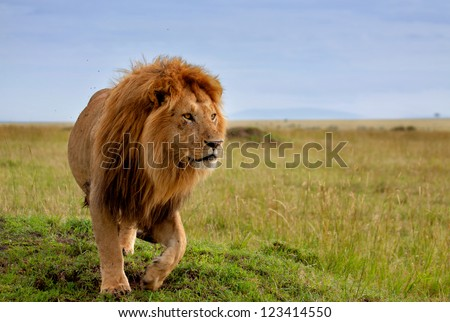 The most beautiful lion of the Masai Mara - stock photo