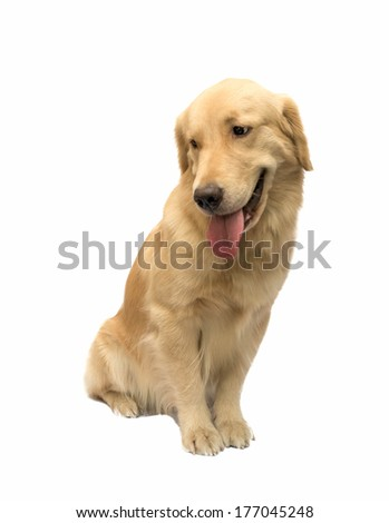the most friendly dog in the world golden retriever isolated in white background with clipping path