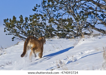 The mountain lion habitat. Back view of mountain lion while running. He is running fastly with using his long tail. He almost flying while running. He is climbing on snowy hill.