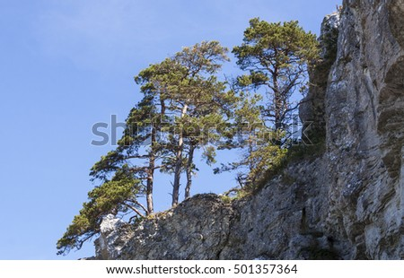 The mountain pines grow on the Cliffs of Gotland, Sweden in the Baltic sea