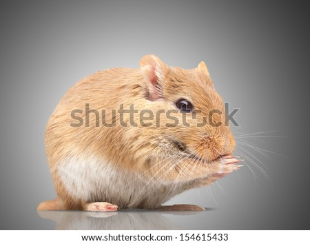 the mouse sits. isolated on background. Gerbillinae