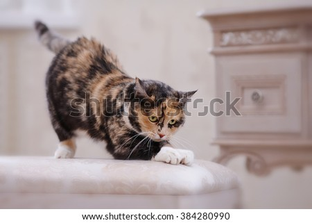 The multi-colored domestic cat with white paws sharpens claws. - stock photo