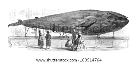 The Museum of Natural History in Gothenburg, Sweden contains the only stuffed blue whale in the world. Engraving by G. Janet, published in Ny Illustrerad Tidning 1866. - stock photo