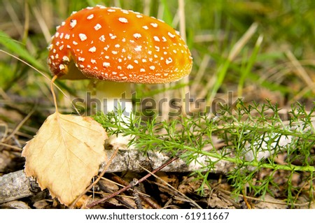 The mushroom a fly-agaric grows one in a wood, among a herb, beautiful orange-red