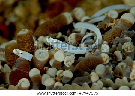 The Mushroom Coral Pipefish (Siokunichthys nigrolineatus) is a small pipefish species that belongs the fish family Syngnathidae which includes Seahorses, Seadragons, Pipefish and Pipehorses. - stock photo