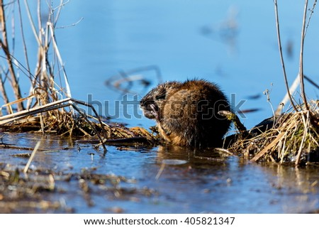 The muskrat  is a fairly large rodent commonly found in the wetlands and waterways of North America.  The entire body, with the exception of the tail and feet has waterproof layer of fur.
