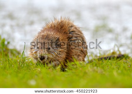 The muskrat (Ondatra zibethicus) in natural habitat