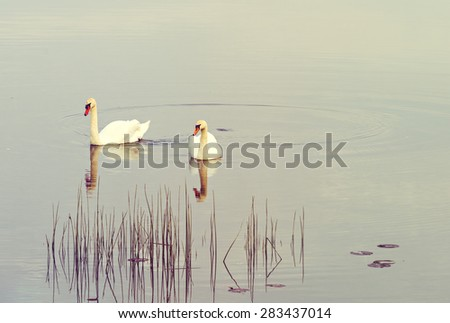 The mute swan (Cygnus olor) is a famous species of swans belonging to the waterfowl family of Anatidae. Image slightly toned with warm hue for inspiration of retro style - stock photo