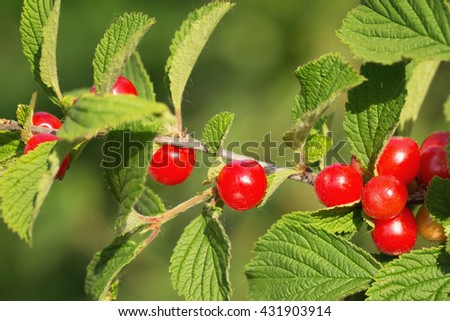The Nanking cherry (Prunus tomentosa) on the branch