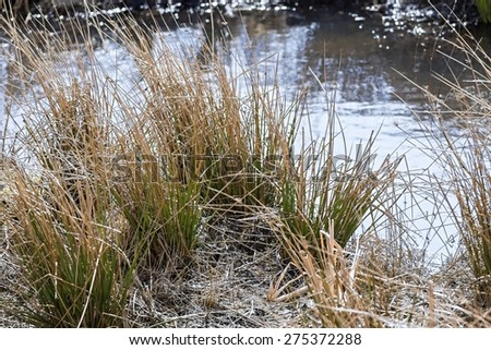 the natural marshland with water in a pond or the river and a thicket of an old dry sedge on coast hummocks - stock photo