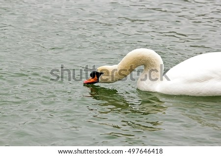 The neck of the swan. Swan drinking water, frozen lake in winter (France)
