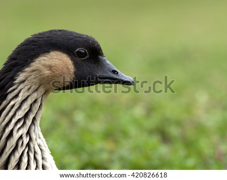 The Nene Goose (Branta sandvicensis), is the state bird of Hawaii and is a protected species that has recovered thanks to this. There are now over 2000 of these animals where once there were only 50. - stock photo