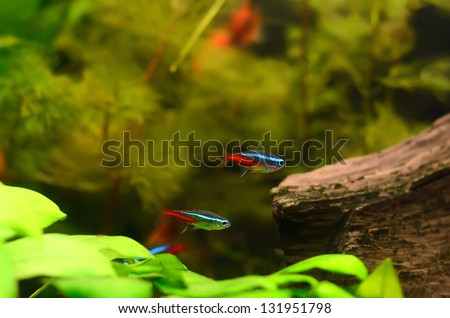 The neon tetra (Paracheirodon innesi) fish in the aquarium