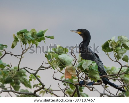 The Neotropic cormorant or olivaceous cormorant (Phalacrocorax brasilianus) seen in the Ibera Wetland area of Argentina