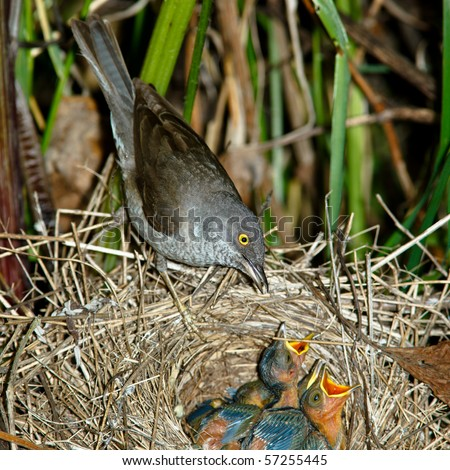 The nest of a Barred Warbler (Sylvia nisoria) in the wild nature.