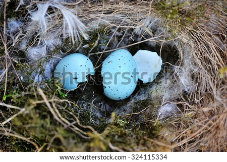 The Nest of bird with blue eggshell - stock photo