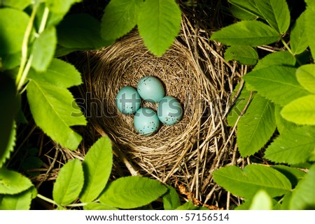 The nest of the  Common Rosefinch (Carpodacus erythrinus)  with eggs in a wild nature.