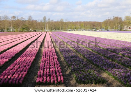 The NETHERLANDS - 15 APR: Visiting Tulip field outside Keukenhof, the Netherlands on 15 April 2017