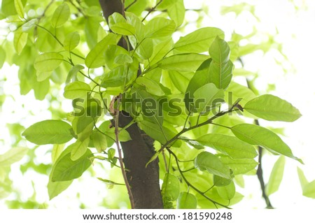 The new leaves in the spring of banyan