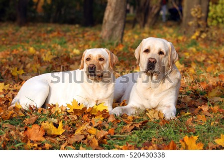 the nice cute two yellow labradors in the park in autumn