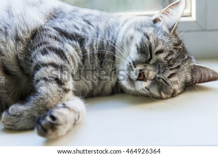 The nice gray cat sleeps  the window sill